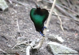 Male Magnificent bird of paradise - Cicinnurus magnificus