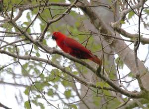 Sumba Eclectus parrot, female