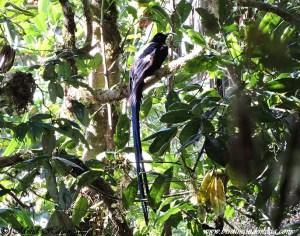 Black Sicklebill (Epimachus fastuosus)