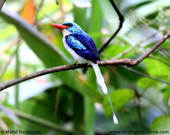 Biak Paradise Kingfisher - Tanysiptera riedelii