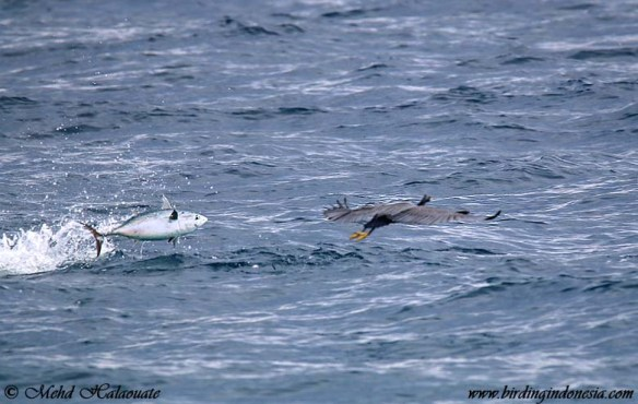 Eastern Reef-heron and Tuna