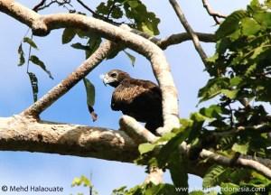 Gurney's Eagle - Aquila gurneyi