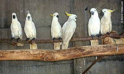 Six of the eight Eleonora Cockatoos rehabilitating in Maharani Zoo outside Surabaya