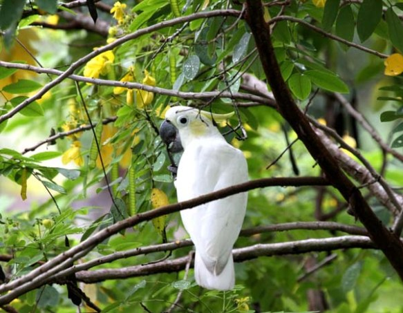Yellow-crested Cockatoo from Masakmabing in the Java Sea.