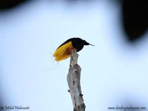 Twelve-wired Bird-of-paradise - Seleucidis melanoleucus