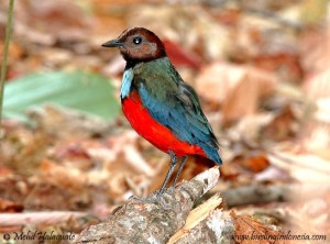 NEW! Red-bellied Pitta - Pitta erythrogaster celebensis