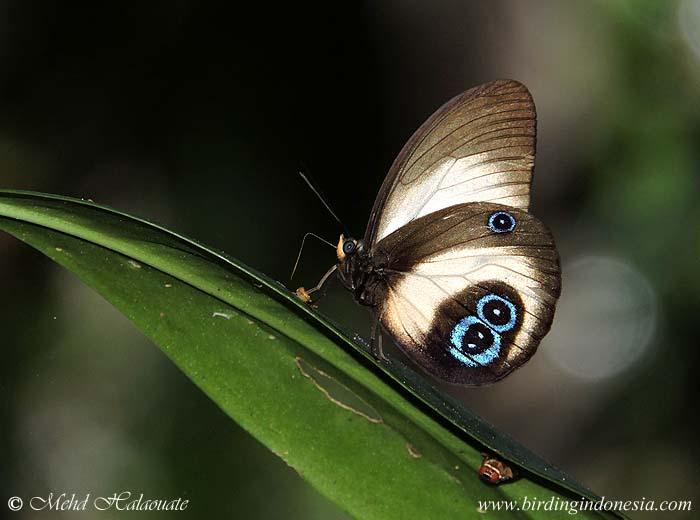 Bộ sưu tập cánh vẩy 5 - Page 29 Taenaris-bioculatus