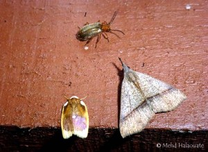 (2) is Lobobasis niveimaculata Borneo