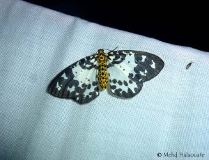 Abraxas invasata, Geometridae Moth Borneo