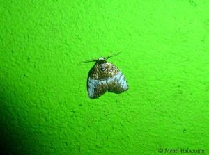 Acatapaustus sp from Arfak