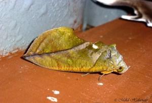 Adris sikhimensis, Moth Borneo