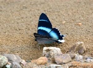 Alcides aruus Moth Taja