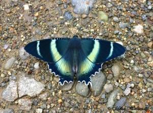 Alcides aruus Moth from Taja