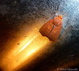 Anomis Moth Borneo