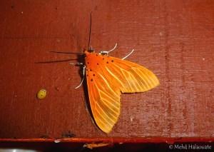 Asota egens Moth Borneo