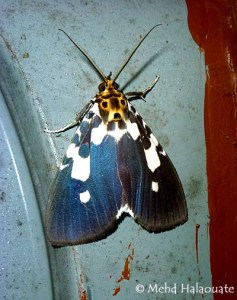 Asota kinabaluensis Moth Borneo