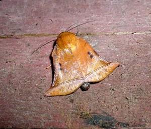 Bell-shaped Moth (Diehlea ducalis) Borneo