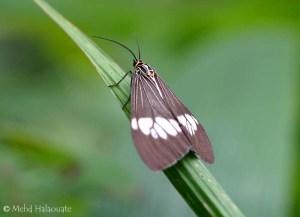Brown Nyctemera Moth (Nyctemera baulus)