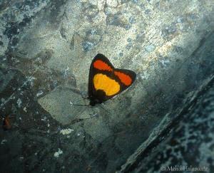 Byrsia dotata papuana