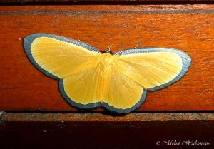 Bytharia uniformis (Geometridae, Sterrhinae, Cosymbiini).Moth Borneo