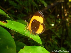 Callidula spec. (Callidulidae) from Seram