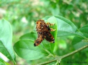 Cheromettia sp., Limacodidae Taja