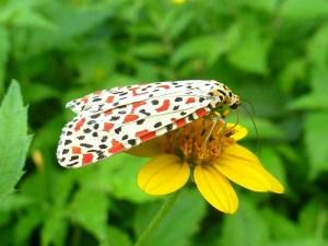 Crimson-speckled Moth - Utetheisa pulchella