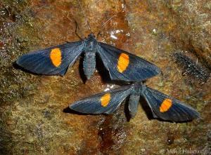 Ctimene spec. (Geometridae, Ennominae)
