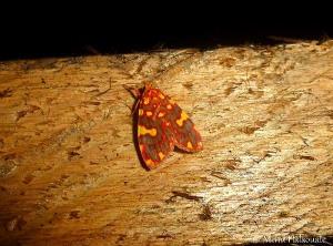 Cyme xantherythra (Erebidae, Arctiinae, Lithosiini)