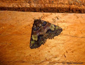 Daddala avola (Erebidae, Erebinae, Sypnini) Arfak
