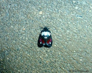 Damias spec. (undescribed) (Erebidae, Arctiinae, Lithosiini)