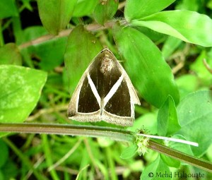 Diamond Back Moth Moth Nusa Penida