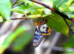 Dysphania endoleuca (Geometridae, Geometrinae) Waigeo