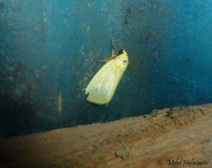 Earias uniplaga (female, thus without the red mark on the wing) (Nolidae, Chloephorinae, Ariolini) from Arfak