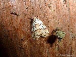 Eugoa spec. (Erebidae, Arctiinae, Lithosiini) Arfak