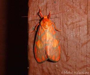 Footman Moth (Barsine roseororatus, Lithosiini, Arctiinae, Erebidae) from Borneo