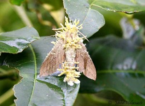 Fungi infested Moth Taja