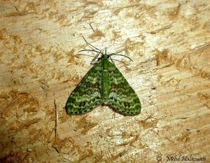 Geometridae moth from Arfak