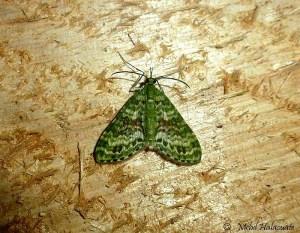 Geometridae moth from Arfak