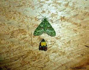 Geometridae Arfak