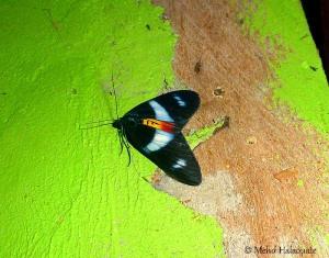 Geometridae, Ennominae, Eumilionia dohertyi or Callhistia dohertyi