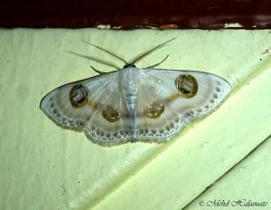Geometridae, Sterrhinae