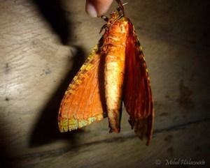 Ghost Moth - Aenetus sordida (Rothschild and Jordan, 1905)
