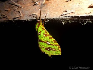 Ghost Moth - Aenetus sordida (Rothschild and Jordan, 1905)