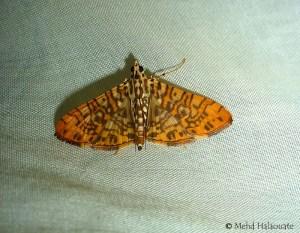 Glyphodes sp., Crambidae Moth Borneo