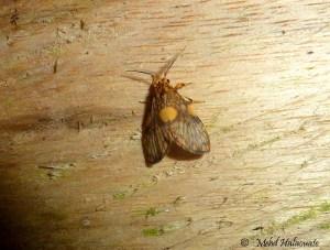 Gymnasura spec. (Erebidae, Arctiinae, Lithosiini) Arfak