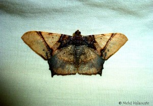 - Hypephyra brunneiplaga, Ennominae, Geometridae Borneo