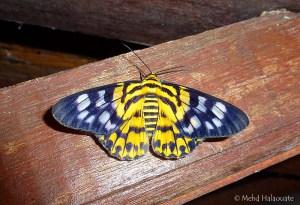Inchworm moth Dysphania militaris - (Linnaeus, 1758)