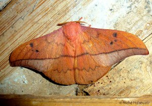 Leaf Mimic Moth from Borneo. Metallata absumens