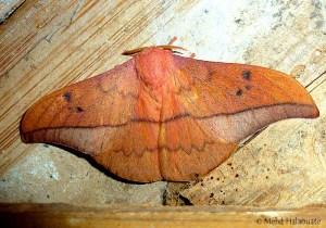 Leaf Mimic Moth from Borneo. Metallata absumens